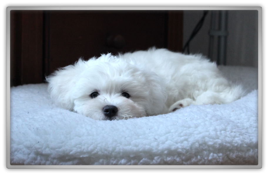jofee jonathan saccone joly maltese dog puppy 10 weeks old cute adorable chaos storm into the storm marjolein kucmer