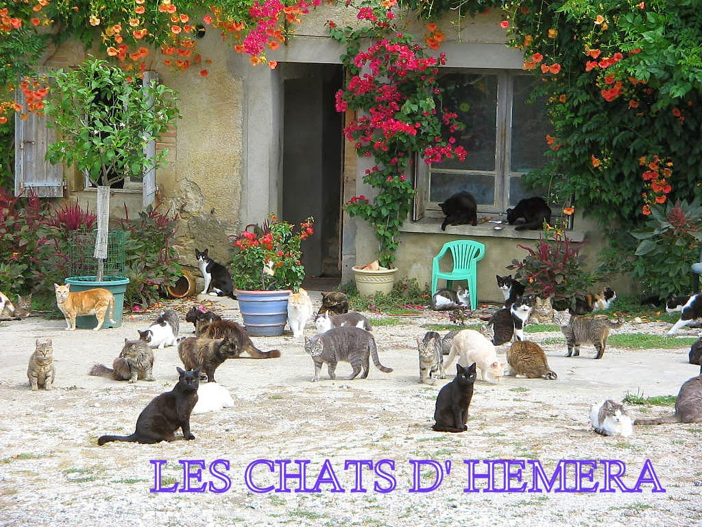 les chats d 39 hemera iris floraison 2015. Black Bedroom Furniture Sets. Home Design Ideas