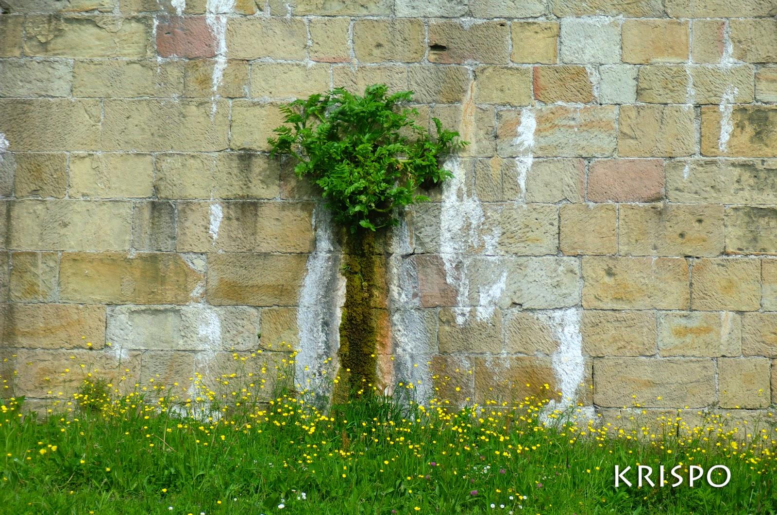 surge un arbol en muralla de hondarribia