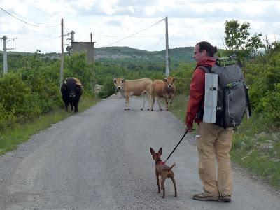 サン・ギエムの道 アヴェーズ - モンダルディエ  Avèze - Montdardier Chemin de Saint-Guilhem たくあん ミニピン 牛