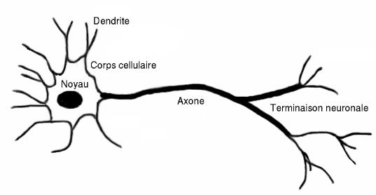 biologie neuromédiateurs système nerveux