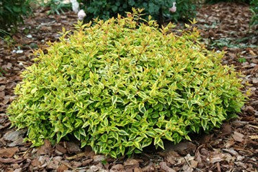 Scyardman my top 10 flowering shrubs shrub on our list and possibly the most unique you get 3 different looks from this shrub per year you get a nice spring blooming of white flowers mightylinksfo
