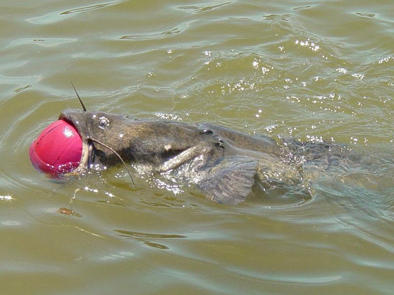 Funny pictures gallery catfish information catfish for How to fish for catfish in a lake