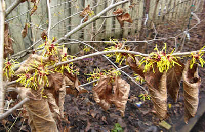 Hamamelis x intermedia Arnold Promise witch hazel blooms in clusters by garden muses: a Toronto gardening blog