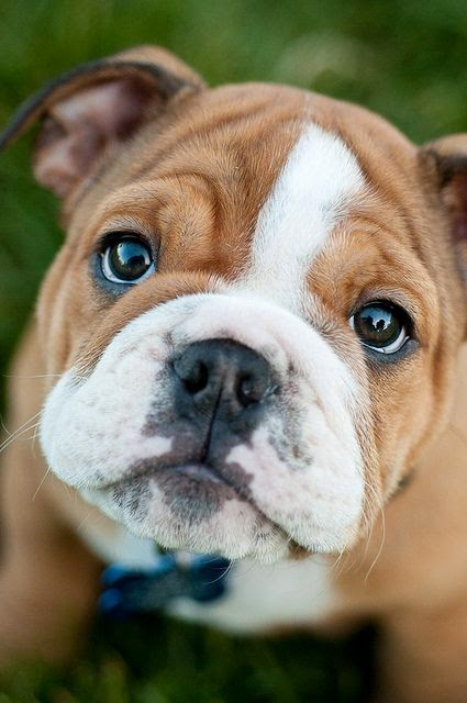 Top 5 Most Loyal Dog Breeds of All times