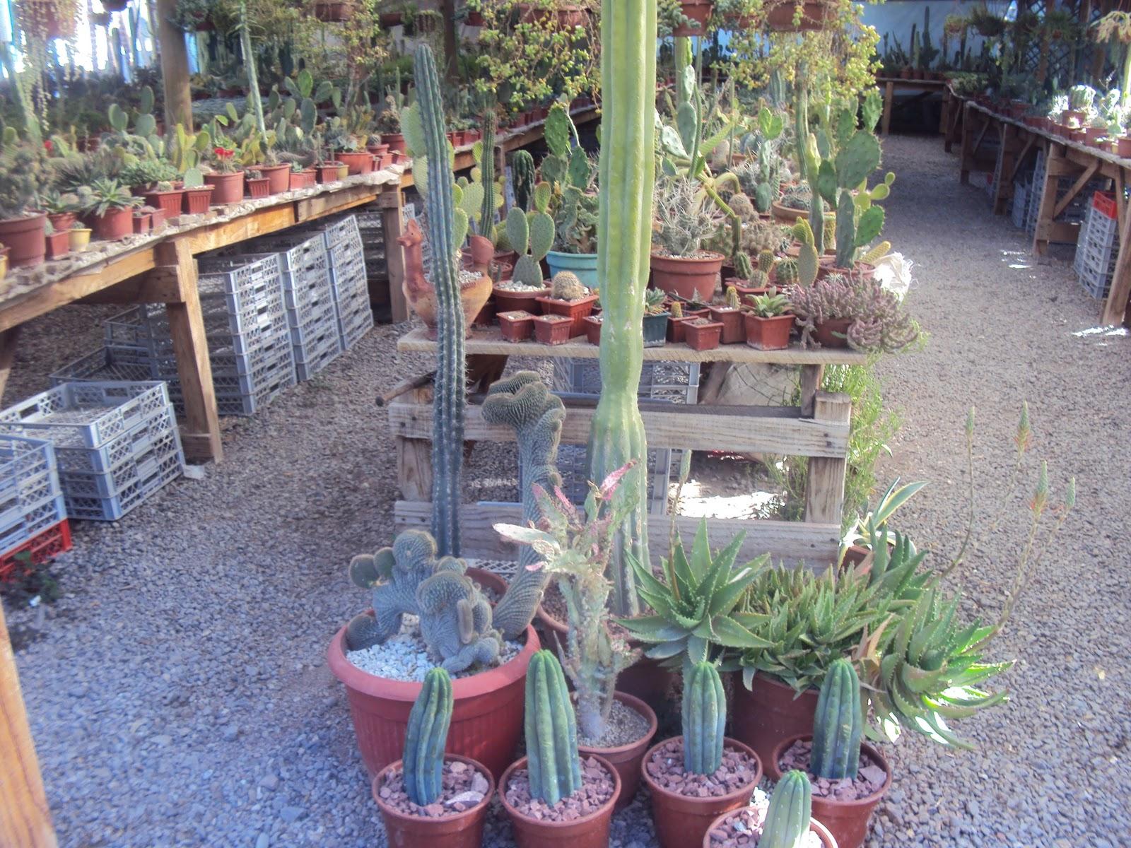 cactus arizona vendo cactus por mayor y menor comuna