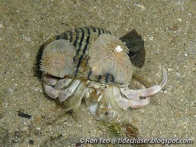 Pale Anemone Hermit Crab (Dardanus deformis)