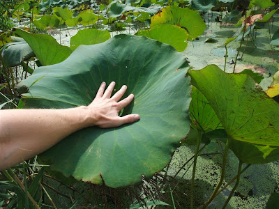 lotus leaf size