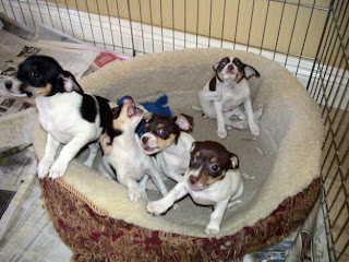 Cute Rat Terrier Puppies