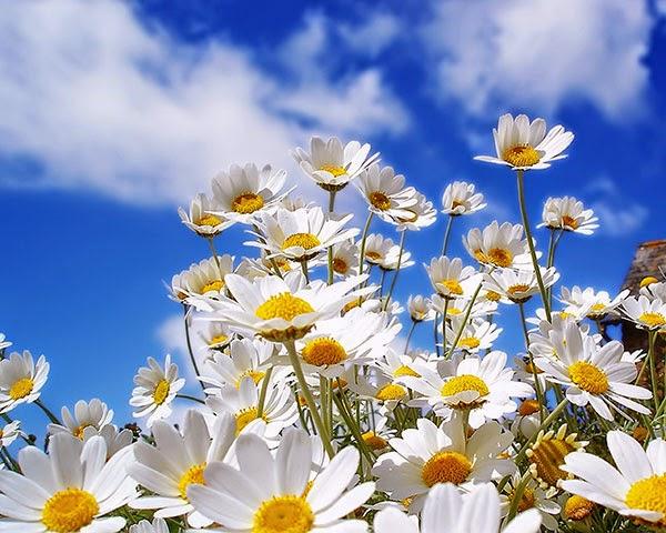 cánh đồng hoa cúc đẹp nhất