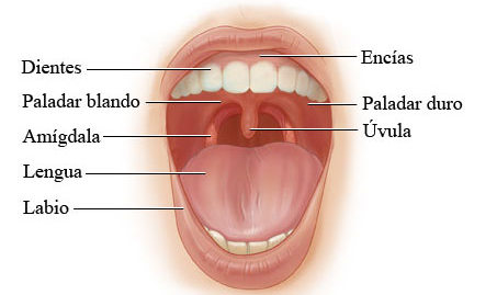 lengua aparato digestivo: