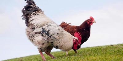 Plastik Ramah Lingkungan dari Bulu Ayam
