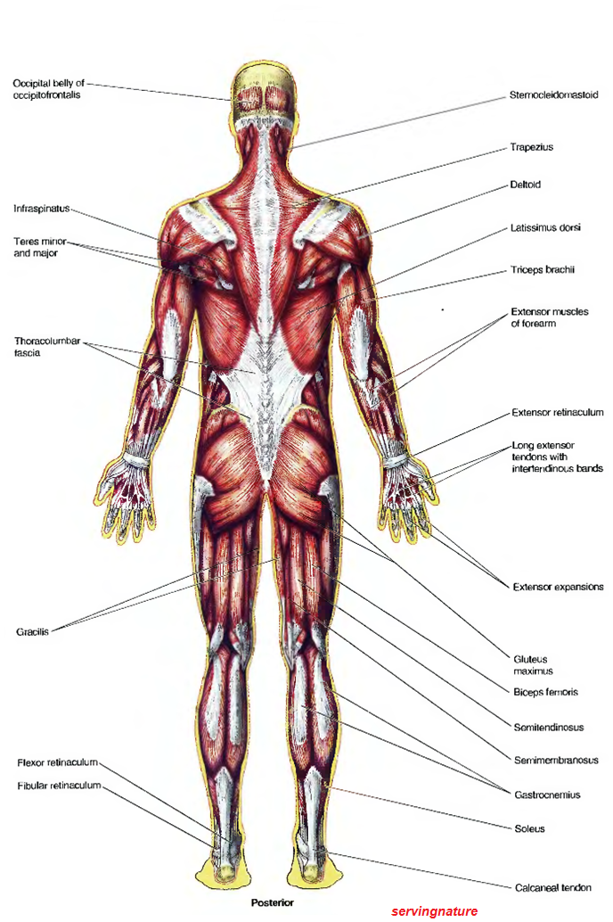 healthy body-healthy mind: what is basic anatomy?, Muscles