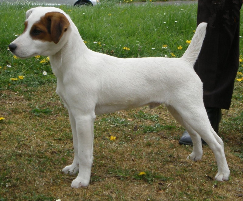 Jack Russell Dog Food Recipes