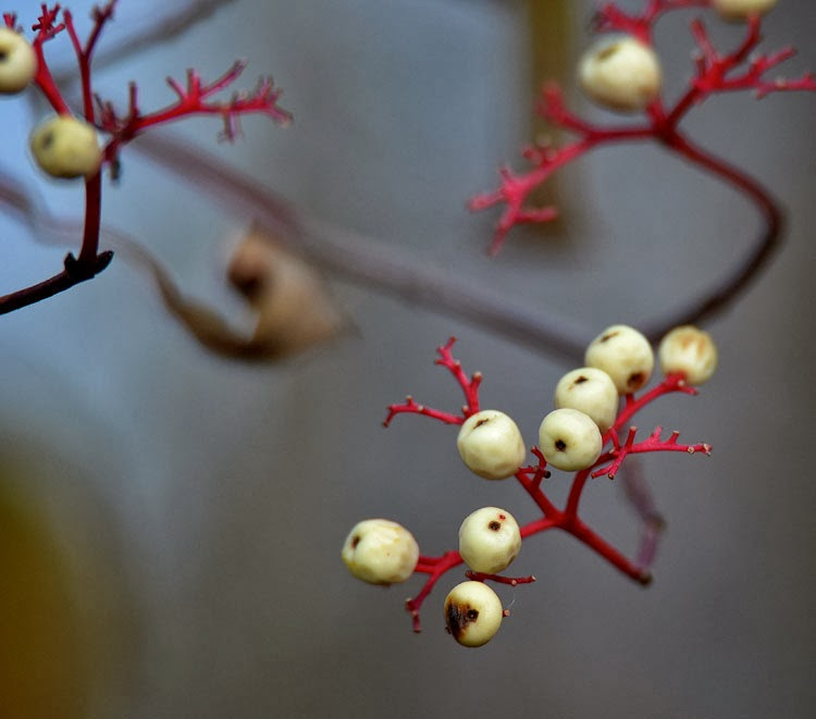 Gray Dogwood berries are creamy white on red fruit stalks.