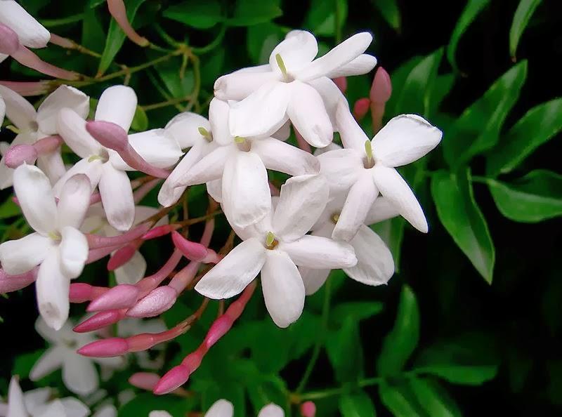 Botanical accuracy a jasmine is not always a jasmine typical jasmine flower jasminum cc kensei on wikipedia mightylinksfo Image collections