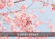 เทศกาลซากุระที่เชจู