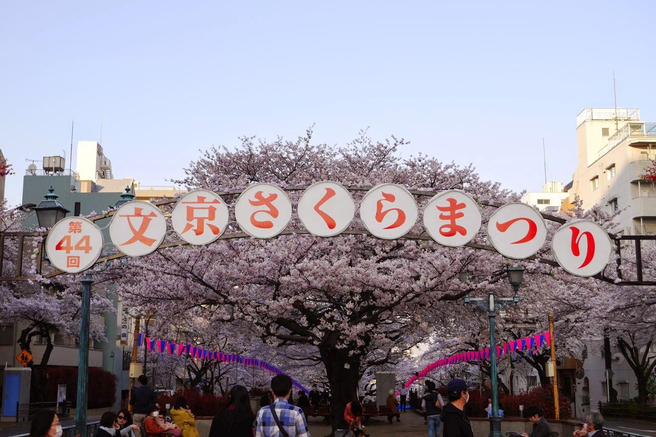 文京さくらまつり, 桜, Sakura, Cherry Blossoms, Bunkyo-ku