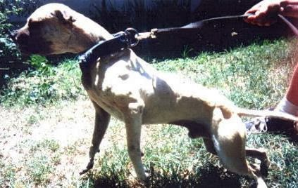 Dog soldiers blackjack apbt