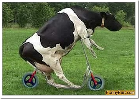 Funny animals funny cow pictures images - Image vache drole ...