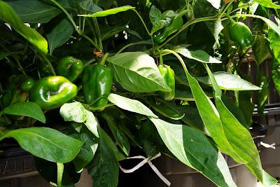 Sweet Heat Peppers on Alejandro farm