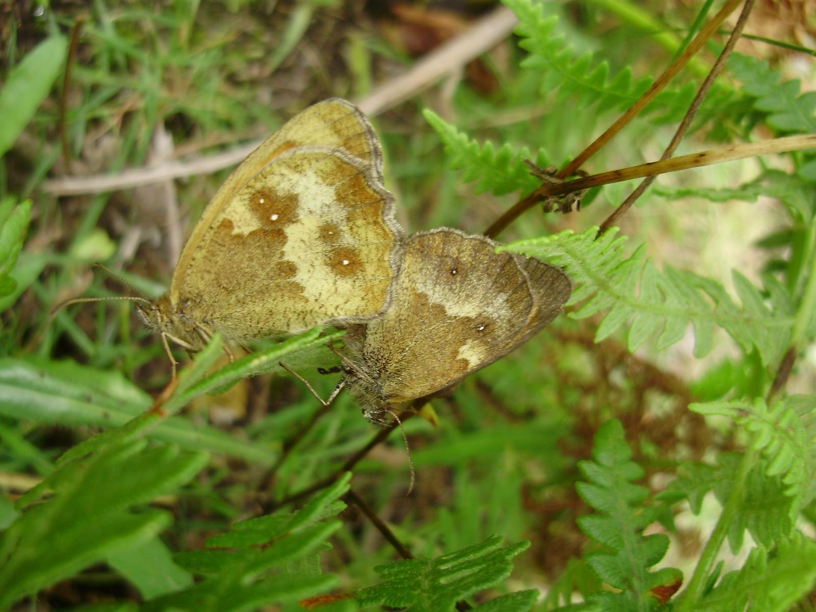 Pareja de mariposas Pyronia tithonus en copula