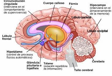 El placer se centra en el cerebro