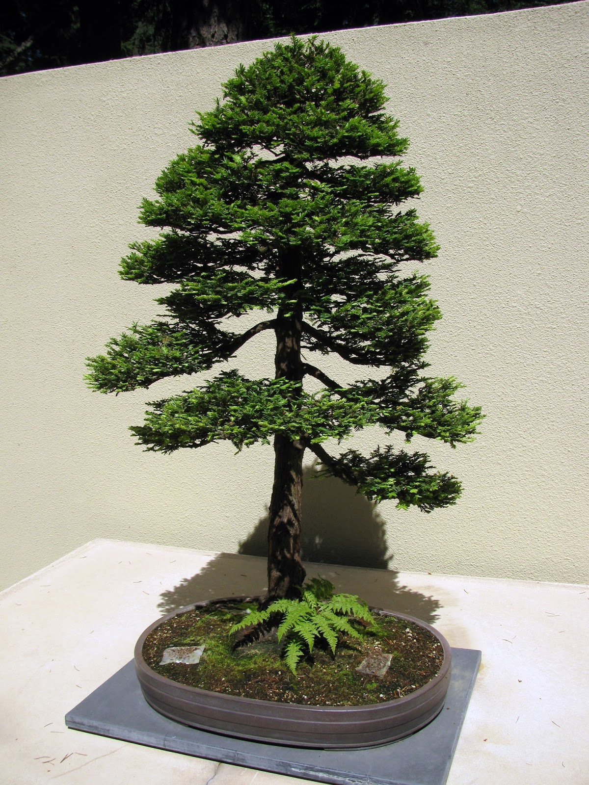 Capewood39s Collections Pacific Rim Bonsai Collection