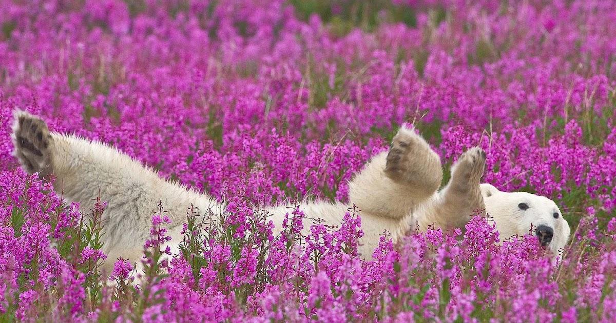 Ijsbeer Tussen De Roze Bloemen Mooie Leuke Achtergronden
