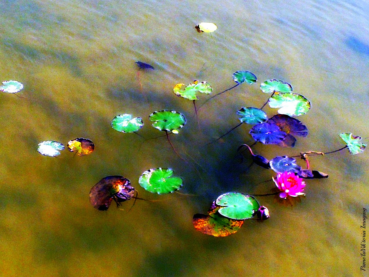 Lily Pads on Amber Waters
