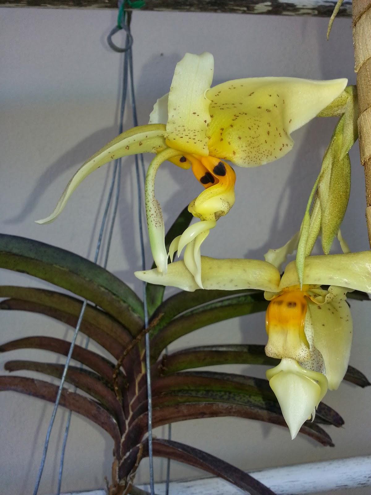 Stanhopea whittenii flowers