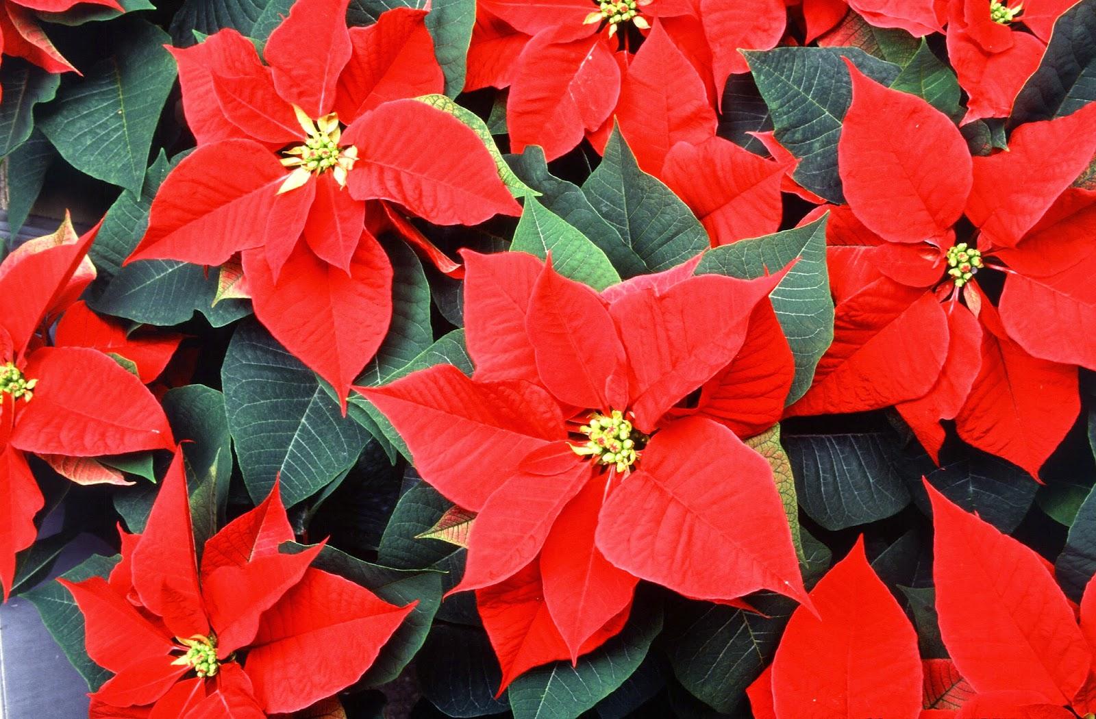 http://en.wikipedia.org/wiki/Euphorbia_subg._Poinsettia