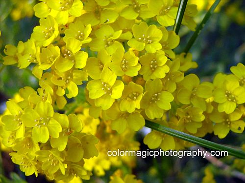 Alyssum saxatile-Basket Of Gold closeup photo