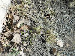 Vilda krokuks i fjolårsgräset