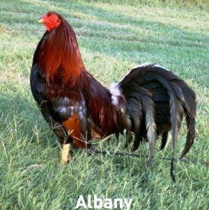 Articulos en las revistas de gallos - angelfire.com