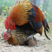 Foto de gallo montando una gallina