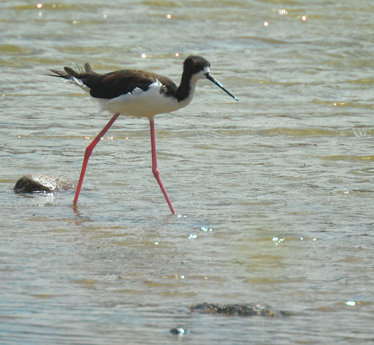 Female Hawaiian Stilt in the water
