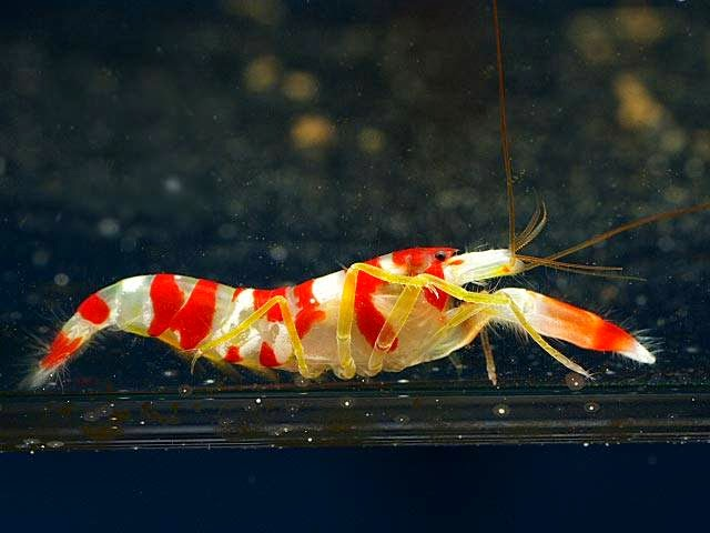 insects, pistol shrimp