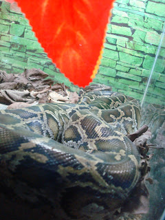 python in zoobic safari