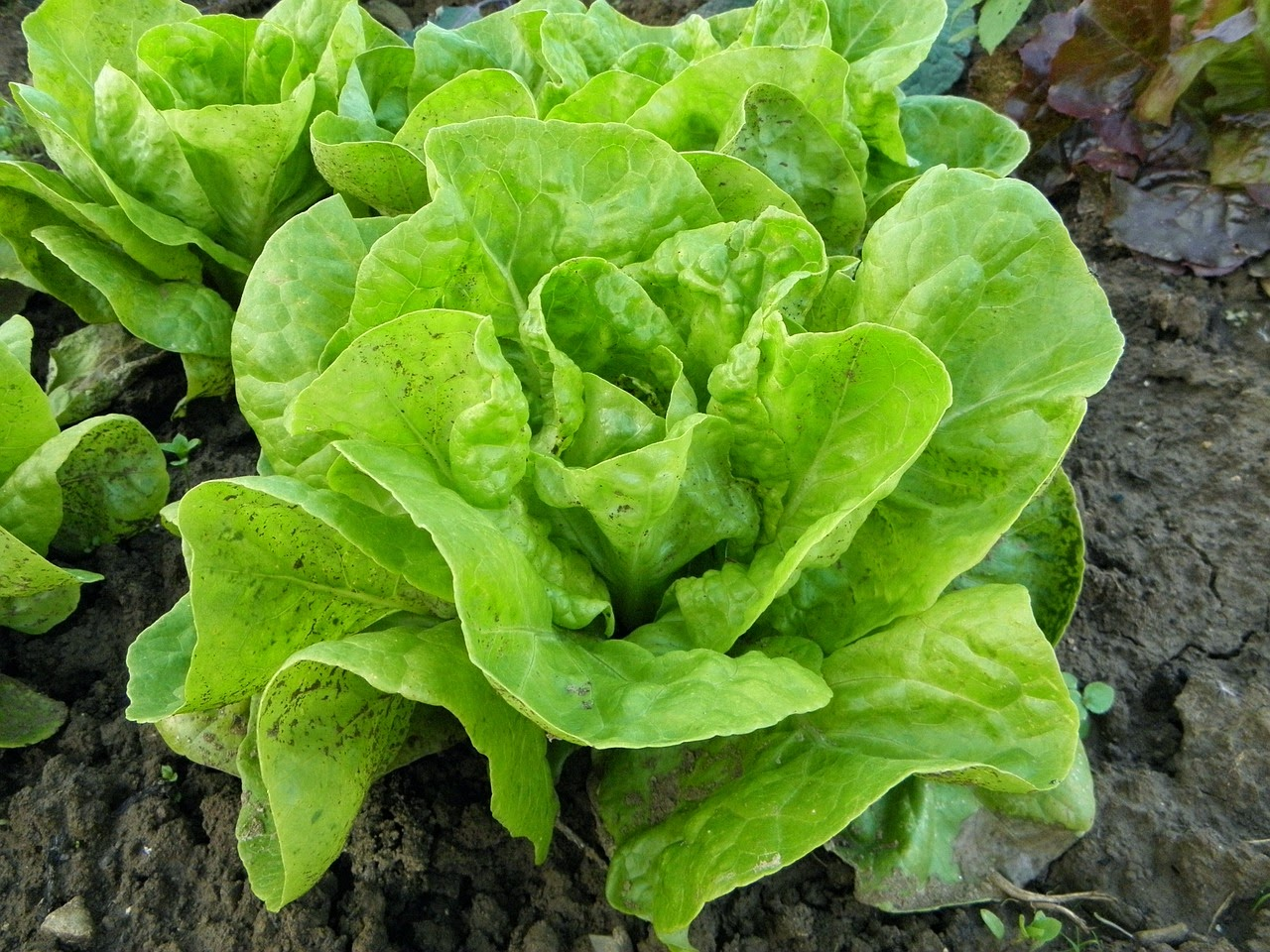 salaatti lettuce