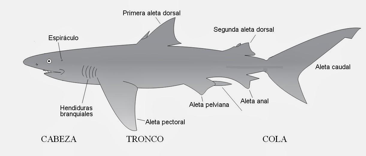 Asombroso Anatomía Del Tiburón Cazón Festooning - Anatomía de Las ...