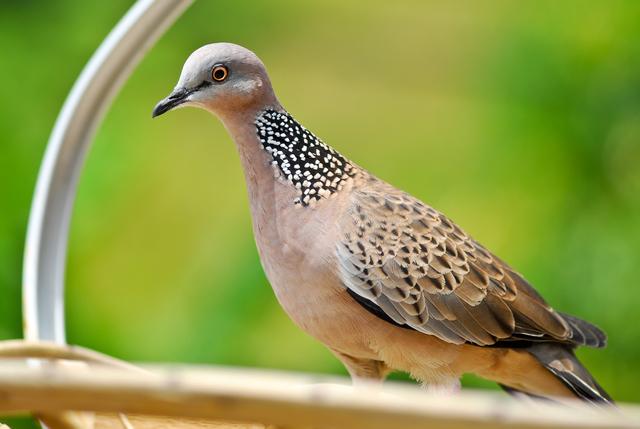 Burung Tekukur ( Balam )