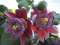 Horóscopo Flores-Origem Atlântida