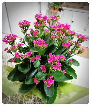 Minhas Flores- CALANCHOE
