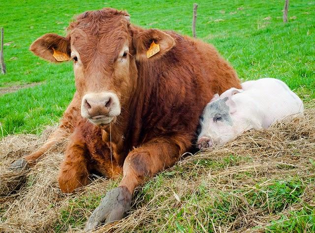 Imagenes Tiernas y Divertidas de Vacas y Toros