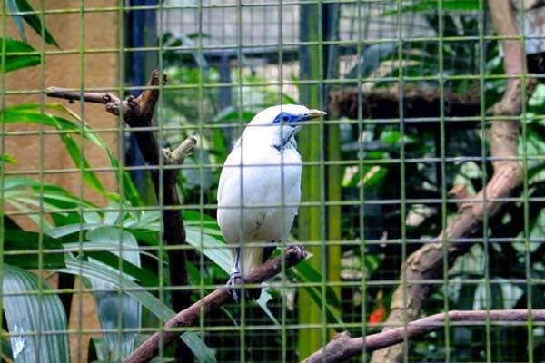 Burung Bali Mynah