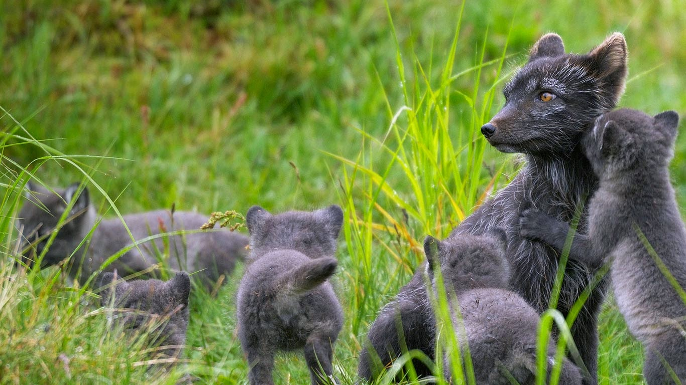 Arctic fox family, Swedish Lapland (© Staffan Widstrand/plainpicture) 126