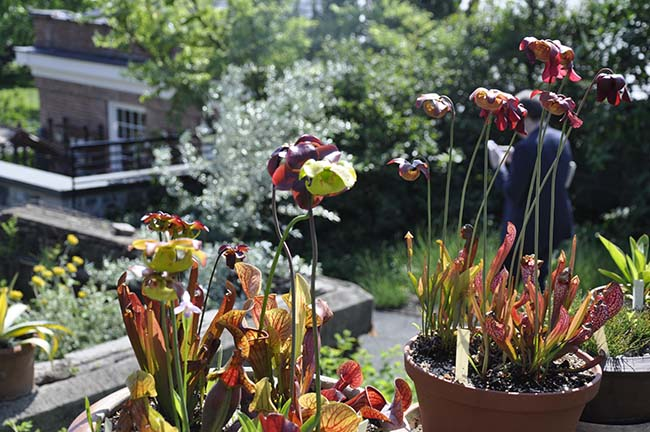 Growing pitcher plants in containers.