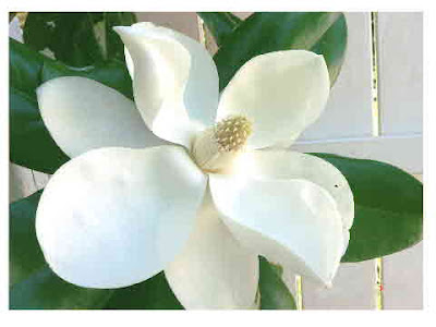 Magnolia blossom- photo by Dawn Gagnon