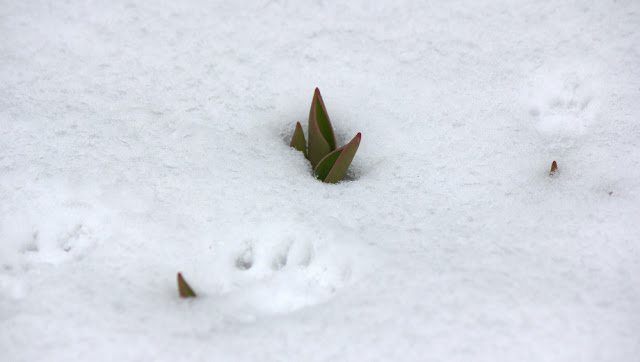 Tulips and squirrel tracks